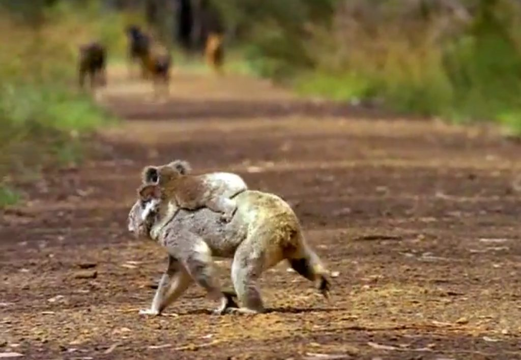 A koala carrying a joey crosses a track in front of a group of wild dogs
