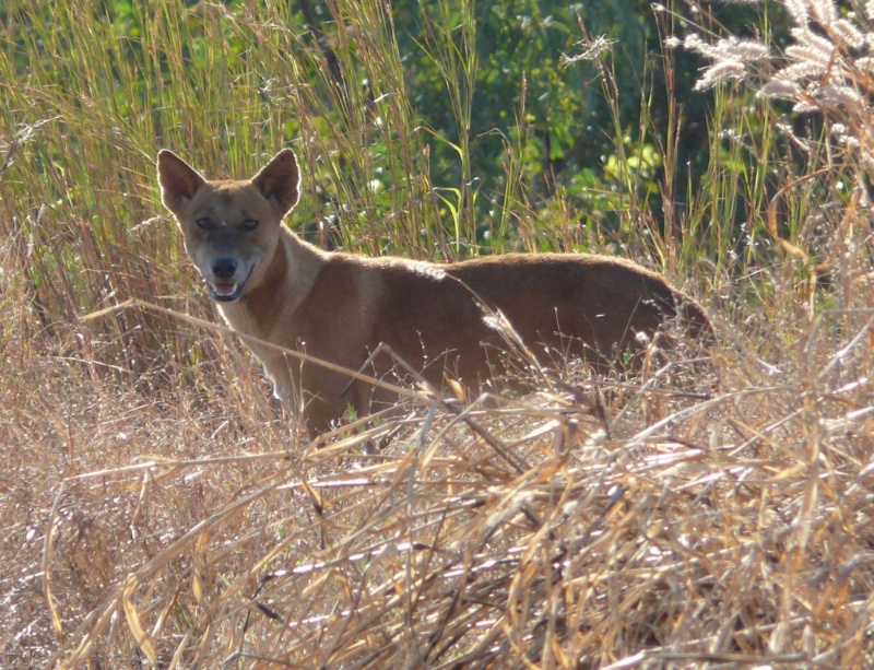 A dingo in the long grass