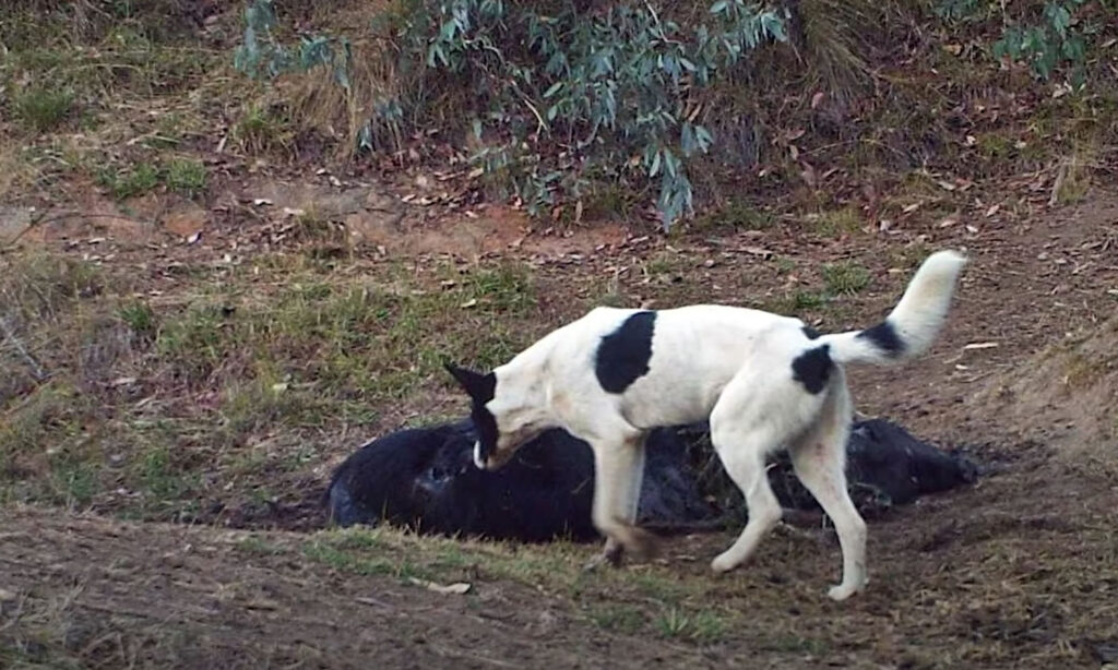 A wild dog next to the body of a cow