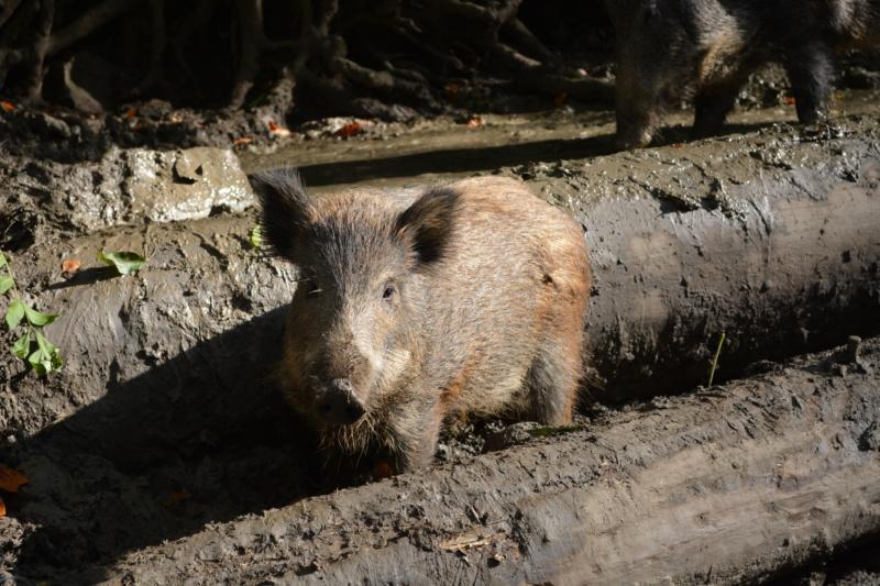A wild boar