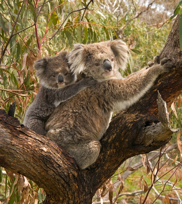 A koala with joey in the fork of a tree