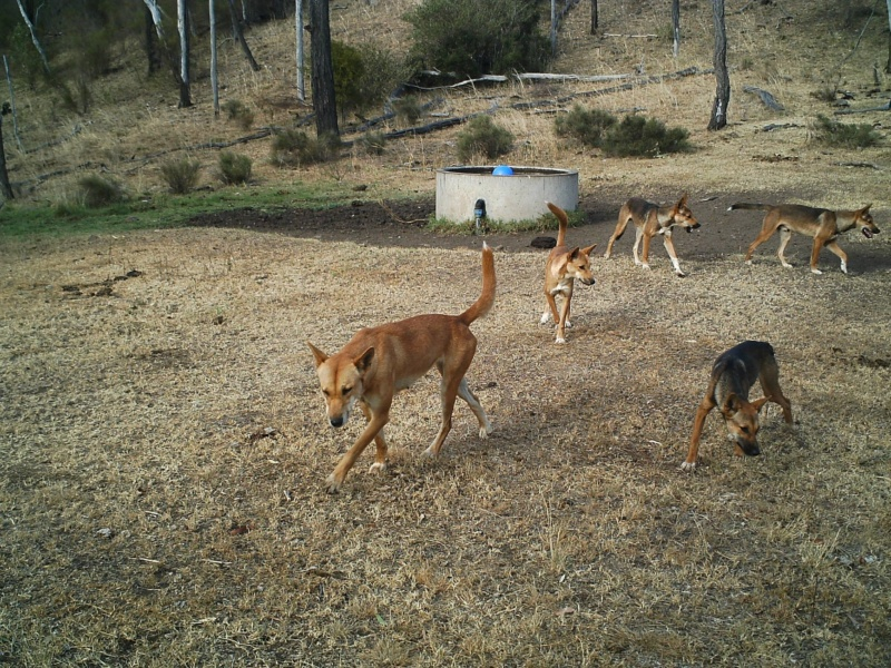 Five wild dogs roaming in a pack